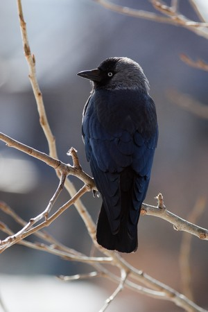 The Jackdaw, or Daw, (crow family, Corvus monedula) in the nature. photo