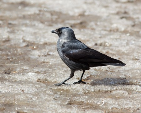 daw: The Jackdaw, or Daw, (crow family, Corvus monedula) in the nature.