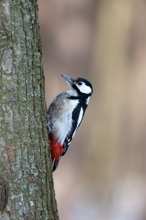 pecker: Great spotted woodpecker (Dendrocopos major) in the Park. Adult bird Stock Photo