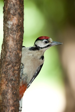 dendrocopos: Great spotted woodpecker (Dendrocopos major) in the Park. Young bird