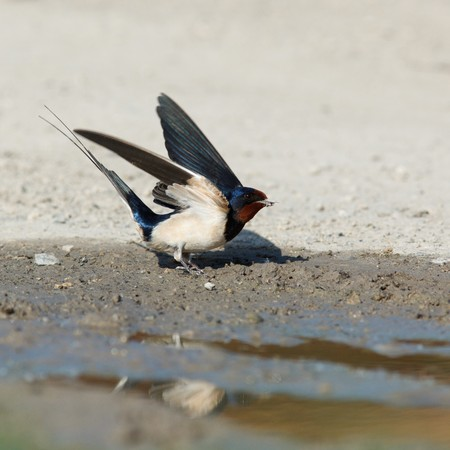Swallow, Hirundo rustica sits on the earth. Stock Photo