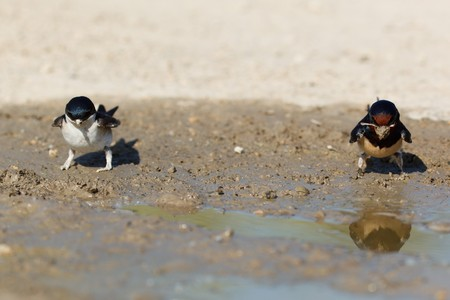 mud house: House Martin (Delichon urbica) ang Barn Swallow (Hirundo rustica). Collecting mud pellets for the nest Stock Photo