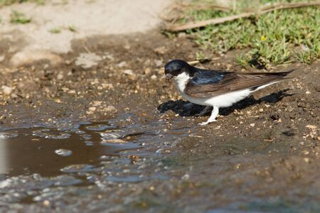 mud house: House Martin, Delichon urbica. Collecting mud pellets for the nest.