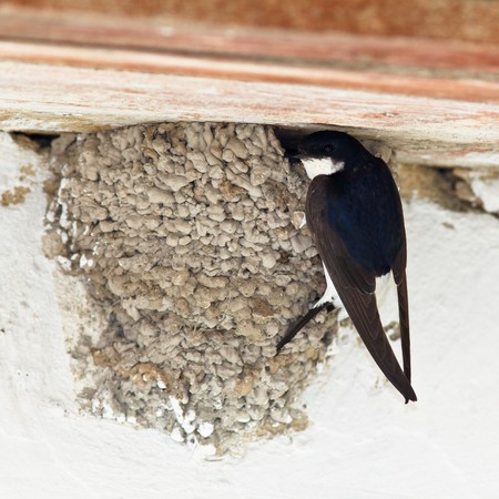 House Martin (Delichon urbica) by nest with chicks. Stock Photo