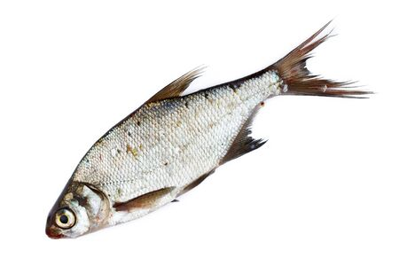 abramis: Freshwater fish in front of white background. Stock Photo