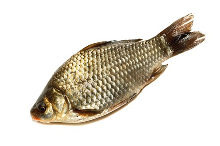 gibel: Freshwater fish in front of white background. Stock Photo