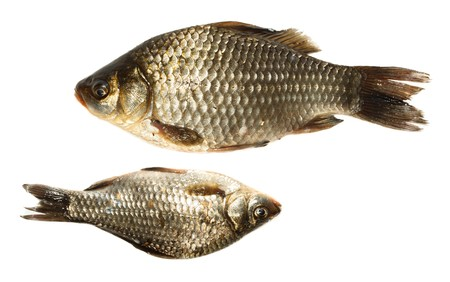 carassius gibelio: Freshwater fish in front of white background. Stock Photo