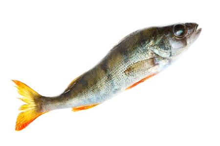 Freshwater fish in front of white background. Stock Photo - 7374873