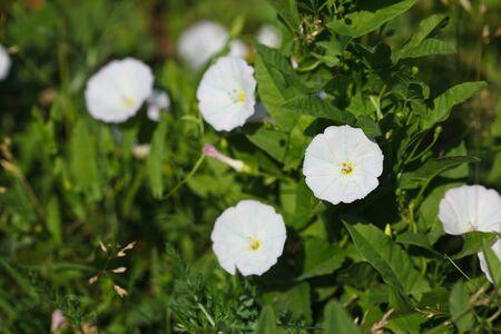 arvensis: Convolvulus arvensis, Field Bindweed, trailing, cornbind, lap-love, corn lily, sheepbine, withwind Stock Photo