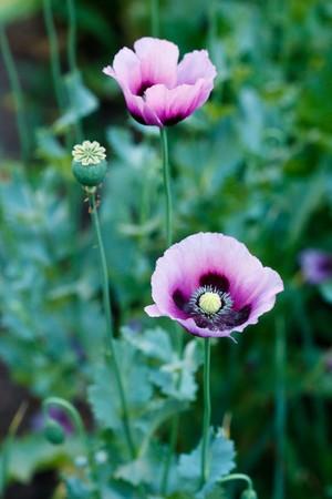 papaver: Beautiful violet poppies on a rural kitchen garden. Papaver somniferum, Opium poppy. Stock Photo