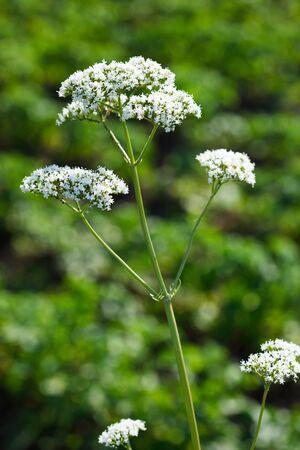 valerian: Valeriana officinalis, valeriana alle erbe, setwall, giardino eliotropio, vandalroot  Archivio Fotografico