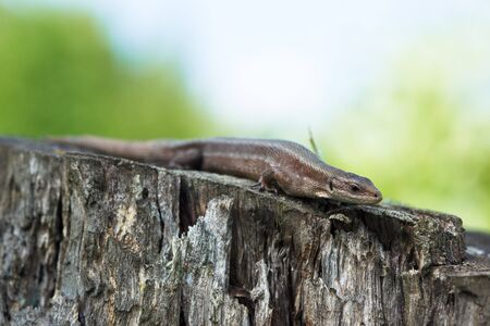 viviparous: Viviparous lizard (Lacerta vivipara). The lizard is on a tree stub.