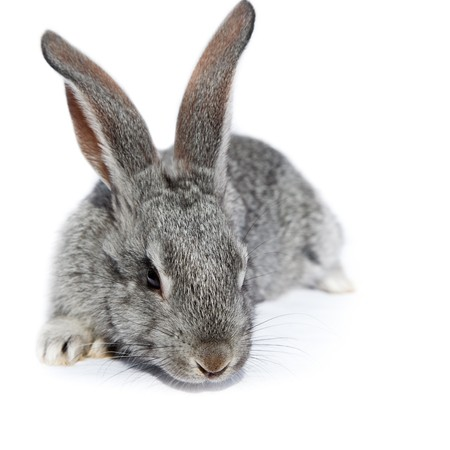 the descendant: Rabbit in studio against a white background.