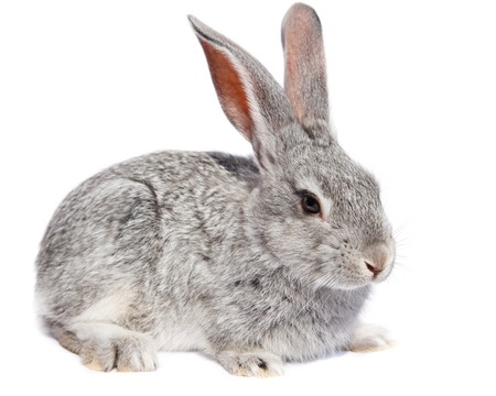 Rabbit in studio against a white background.