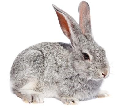 wit konijn: Rabbit in studio tegen een witte achtergrond.
