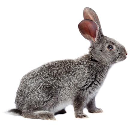 lapin blanc: Lapin en studio sur un fond blanc.