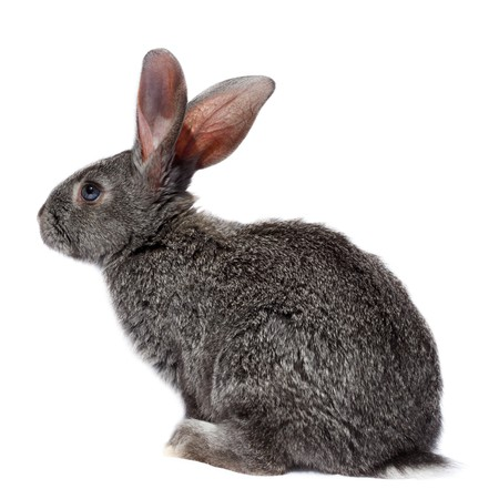 cony: Rabbit in studio against a white background.