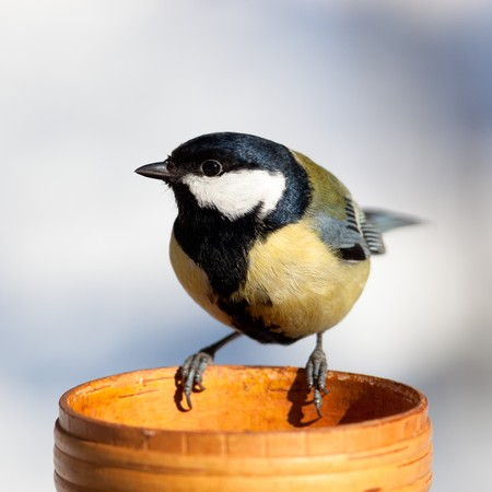 parus major: The Great Tit (Parus major) sits on a bird-feeder. Stock Photo