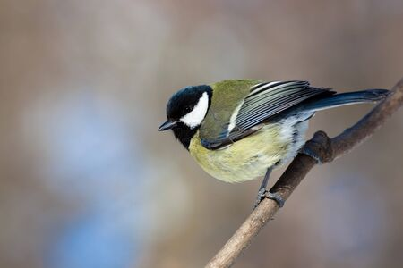 Great Tit (Parus major) in the wild nature. A wildlife photo. photo