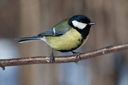 Great Tit (Parus major) in the wild nature. A wildlife photo. Stock Photo - 7429164
