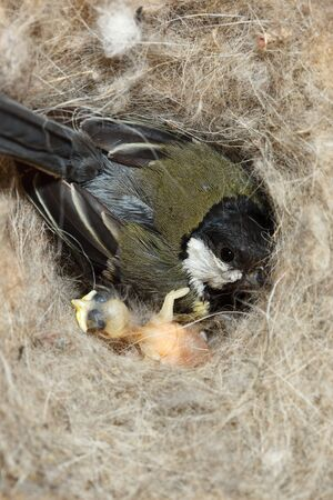 Great Tit, Parus major. The titmouse persistently sits in a starling house even if to lift a cover. Stock Photo