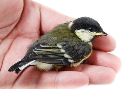 A bird in the hand is worth two in the bush. Great Tit, Parus major.