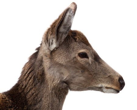 Sika Deer, Cervus nippon. The animal is in a zoo. Stock Photo - 7429163