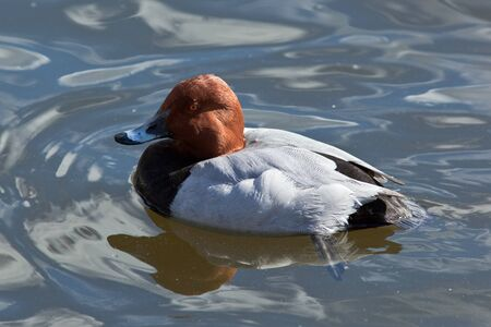 water fowl: Common Pochard, Aythya ferina. The bird is in a zoo. Stock Photo