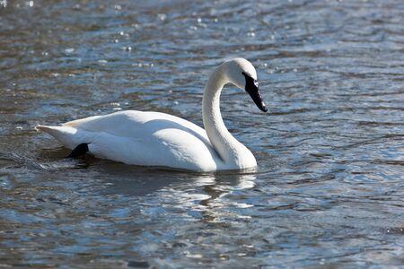 cygnus buccinator: Bugler, Trumpeter, Swan, Cygnus buccinator. The bird is in a zoo.