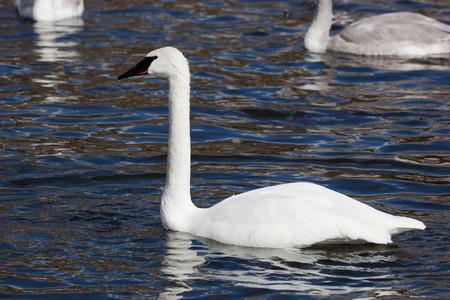 Bugler, Trumpeter, Swan, Cygnus buccinator. The bird is in a zoo. photo