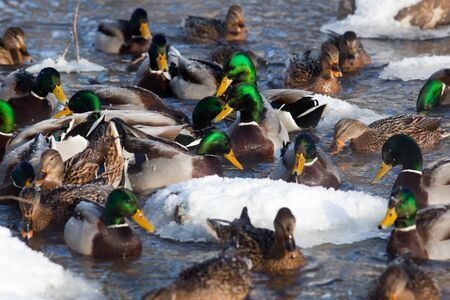 The Mallard (Anas platyrhynchos) is in a city park. Stock Photo - 7429249
