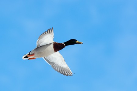 The Mallard (Anas platyrhynchos) is in a city park. Bird in fly. Stock Photo - 7429204