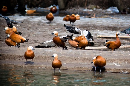 Ruddy Shelduck, or Brahminy Duck (Tadorna ferruginea) is in a zoo. Stock Photo - 7429256