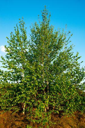 betula pendula: Paesaggio in una campagna bella primavera. Russia, la regione di Ryazan.