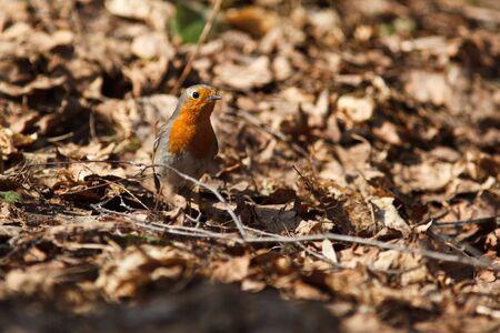 rubecula: Robin, Erithacus rubecula in the wild nature. Stock Photo