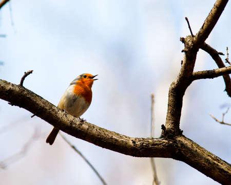 rubecula: A male of a Robin, Erithacus rubecula, calling song.