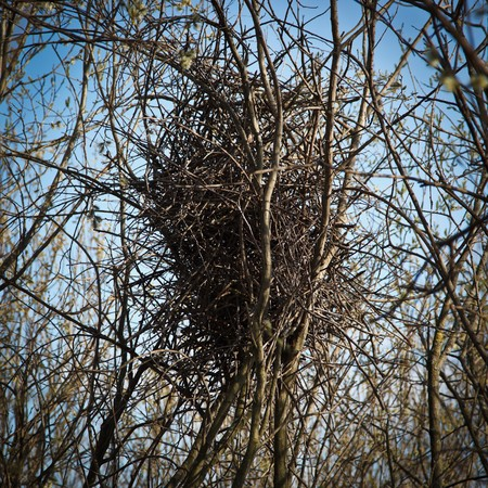 pica: The nest of the Magpie, crow family, Pica pica. Stock Photo