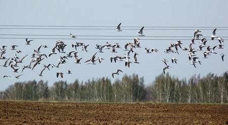 ridibundus: Black-headed, Larus ridibundus in the flying. Stock Photo