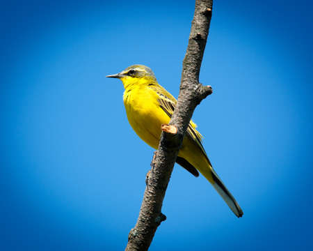 motacilla: Yellow Wagtail, Motacilla flava. The bird perching on a branch of the tree.
