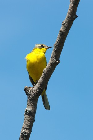 Yellow Wagtail, Motacilla flava. The bird perching on a branch of the tree. photo