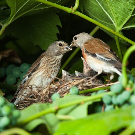 The nest of a Linnet (Acanthis cannabina, Carduelis) with baby birds in the nature. photo