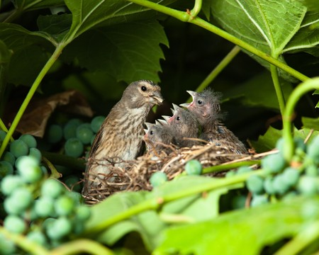 birdnest: The nest of a Linnet (Acanthis cannabina, Carduelis) with baby birds in the nature.