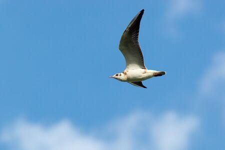 larus ridibundus: Black-headed, Larus ridibundus in the flying. Stock Photo