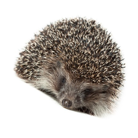 ludicrous: Young hedgehog in studio on the white background, isolated.