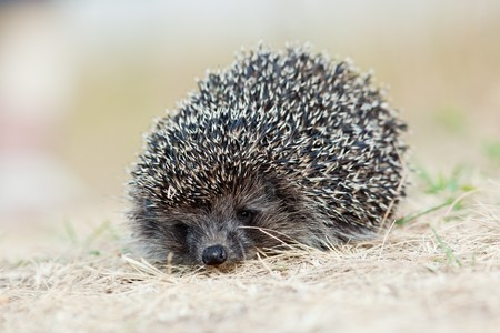 ludicrous: The young hedgehog left on hunting in a grass, evening. Stock Photo