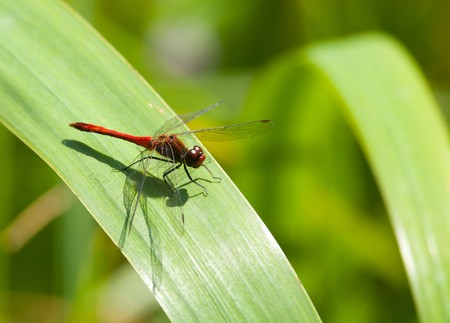 flavescens: Globe Skimmer, or Wandering Glider (Pantala flavescens) in the wid nature. Stock Photo