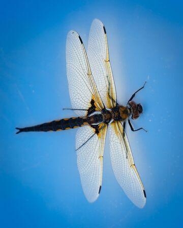 chaser: Libellula quadrimaculata, Four-spotted Chaser on a blue backgroud, studio shot.