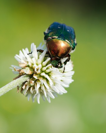 Cetonia aurata, rose chafer in the wild nature. photo