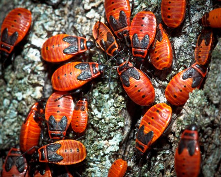The firebug, Pyrrhocoris apterus, is a common insect of the family Pyrrhocoridae. photo