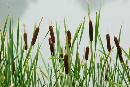 Typha latifolia, Common Bulrush, Broadleaf Cattail, blackamoor, flag, mace reed, water-torch Stok Fotoğraf